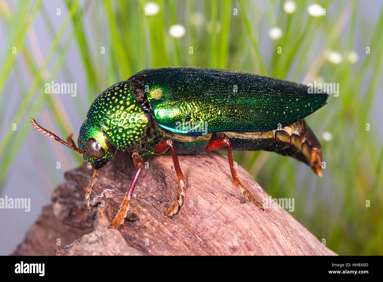 Jewel Beetle (Sternocera ruficornis) - Stock Image