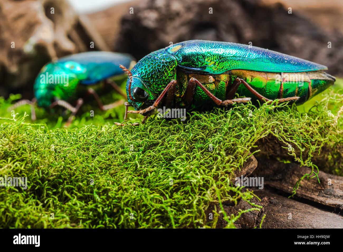 Jewel Beetle (Sternocera ruficornis), Beetle on the stump wood - Stock Image