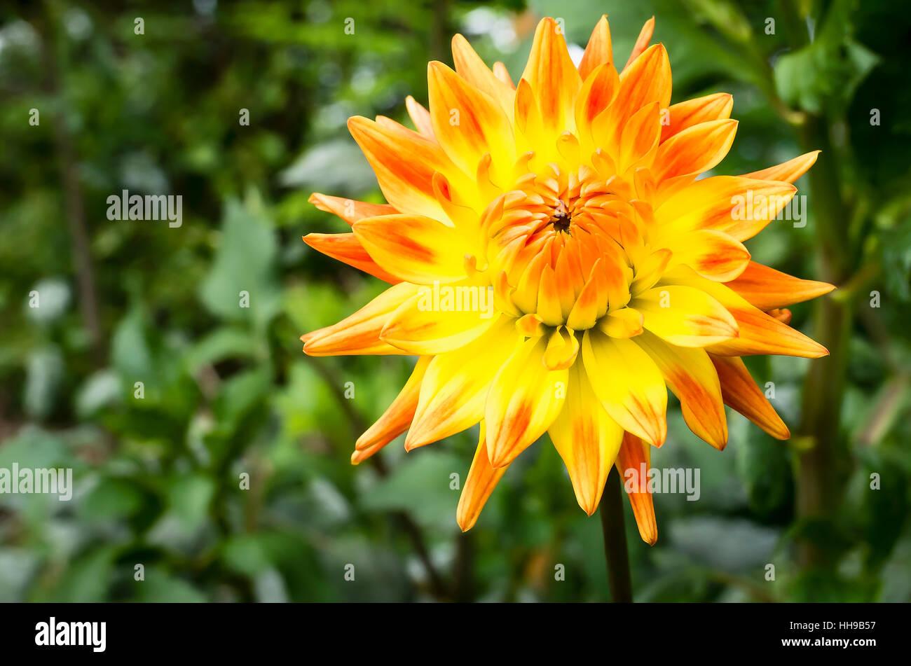Dahlia Rising Sun  flowering in September in the UK - Stock Image
