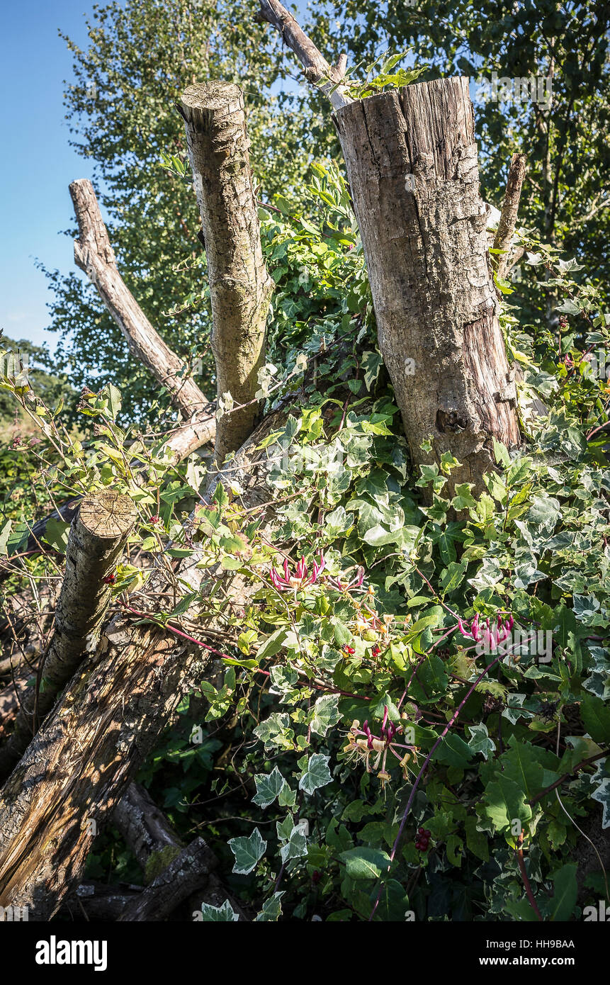 Hedera climbing and rambling over surplus tree branches and truncated trees - Stock Image