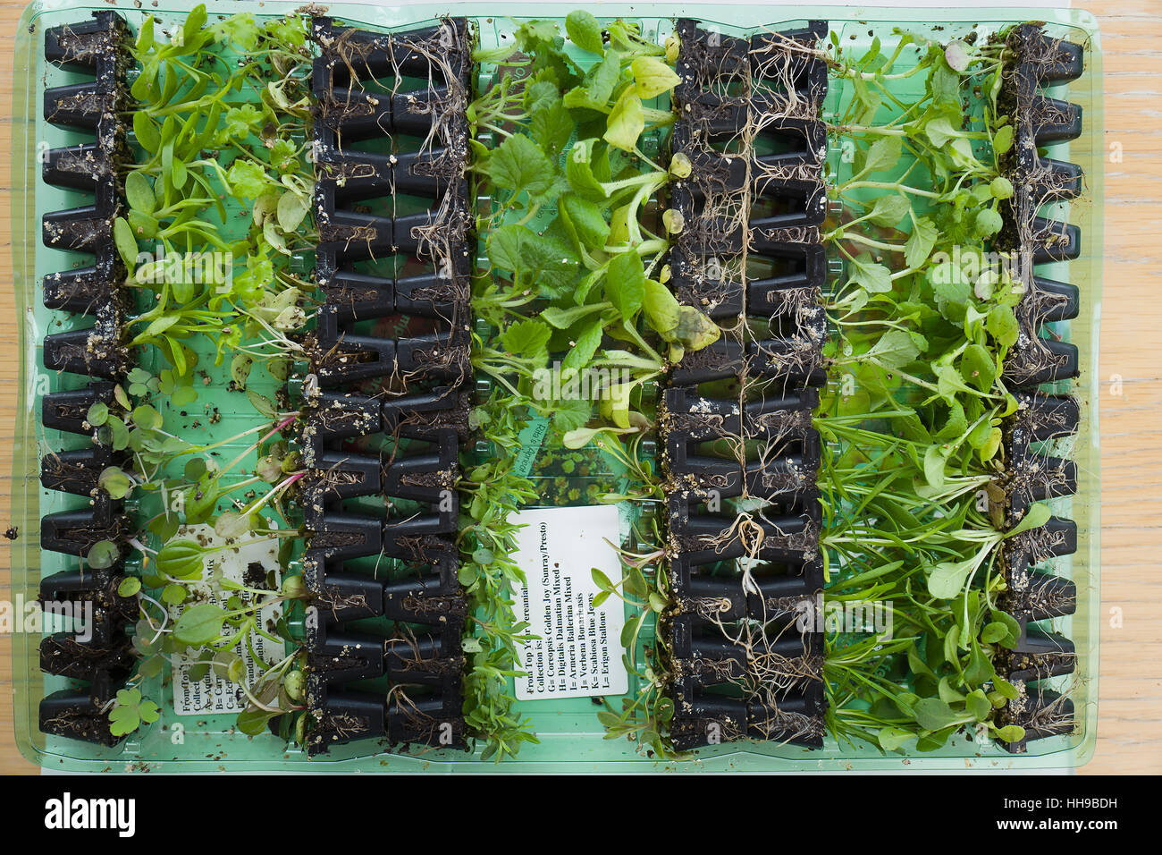 Perennial plug plants as delivered, once opened, by mail order in UK - Stock Image