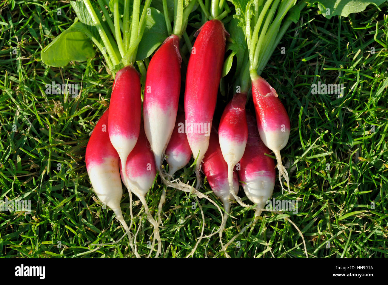 Bunch of freshly picked and washed salad radishes, Variety French Breakfast, Raphanus raphanistrum sativus. - Stock Image