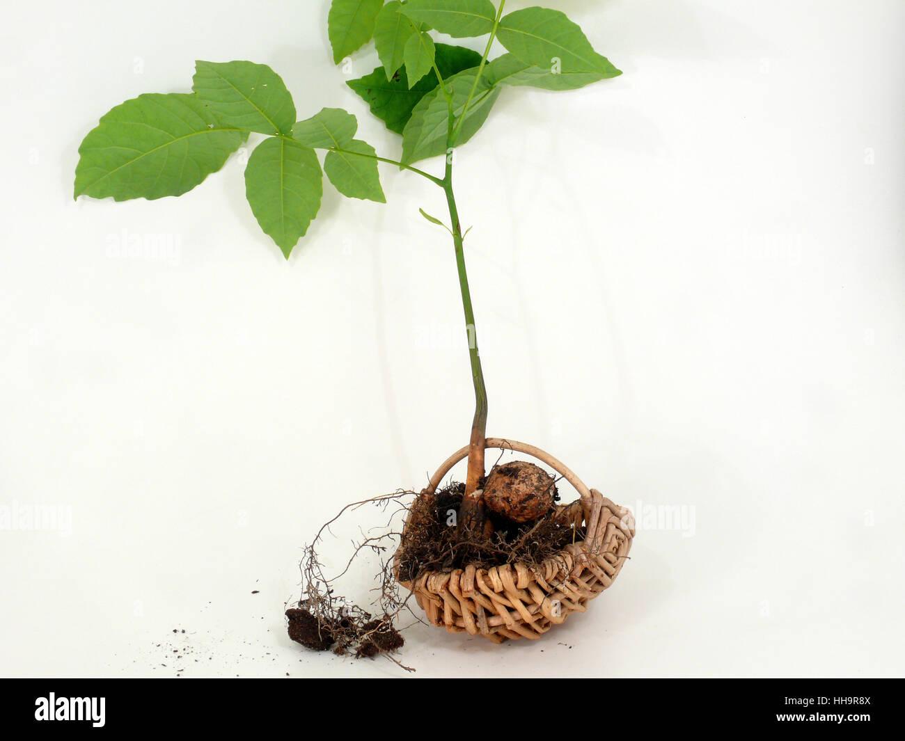 root, walnut, seedling, walnut tree, plant, root, walnut