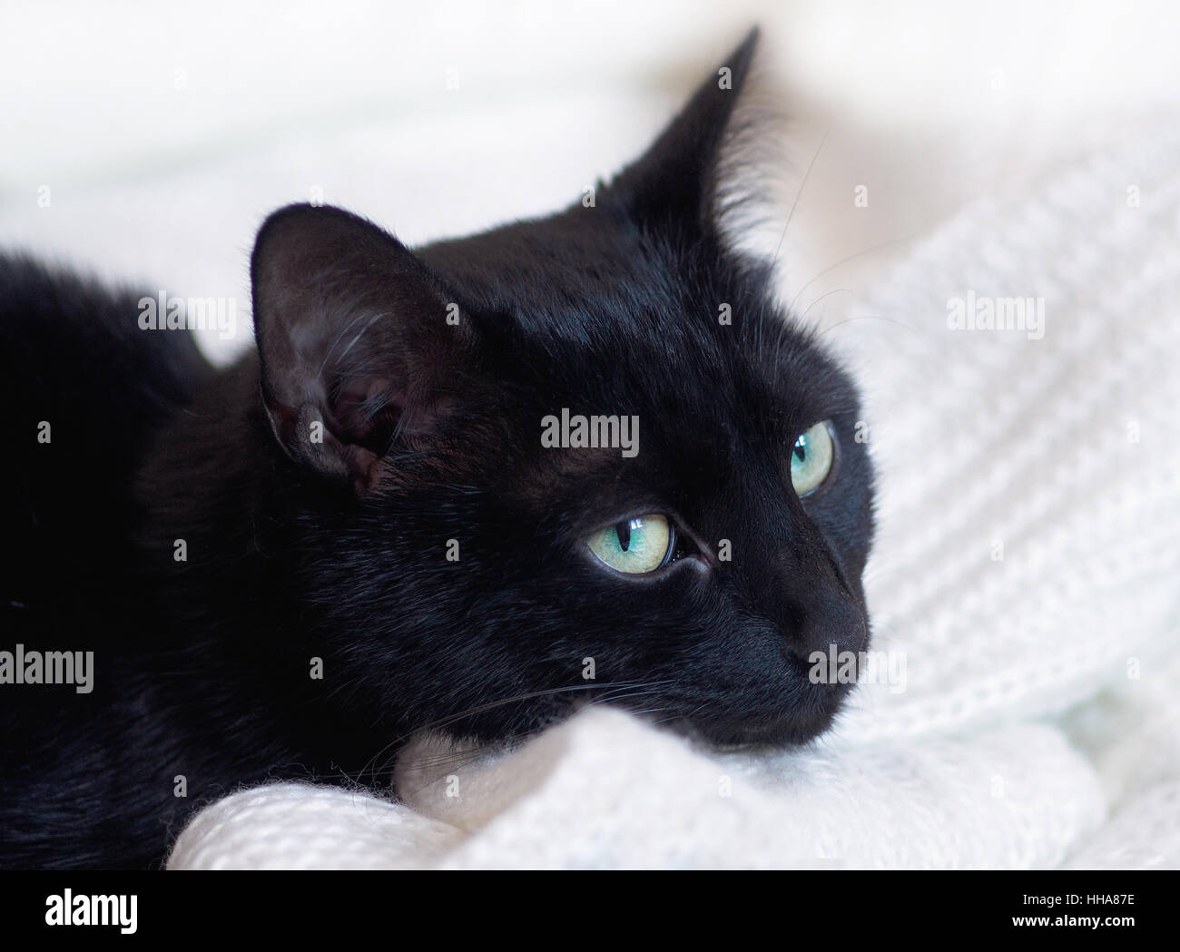 Black cat on white clothes leaves hair. - Stock Image
