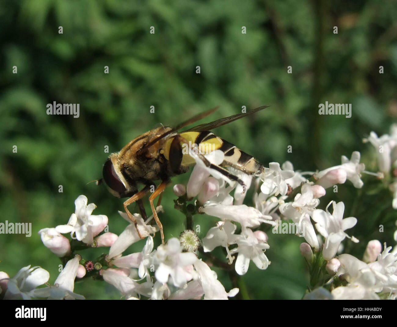 sideways shot showing a hover fly sitting on some flowers - Stock Image