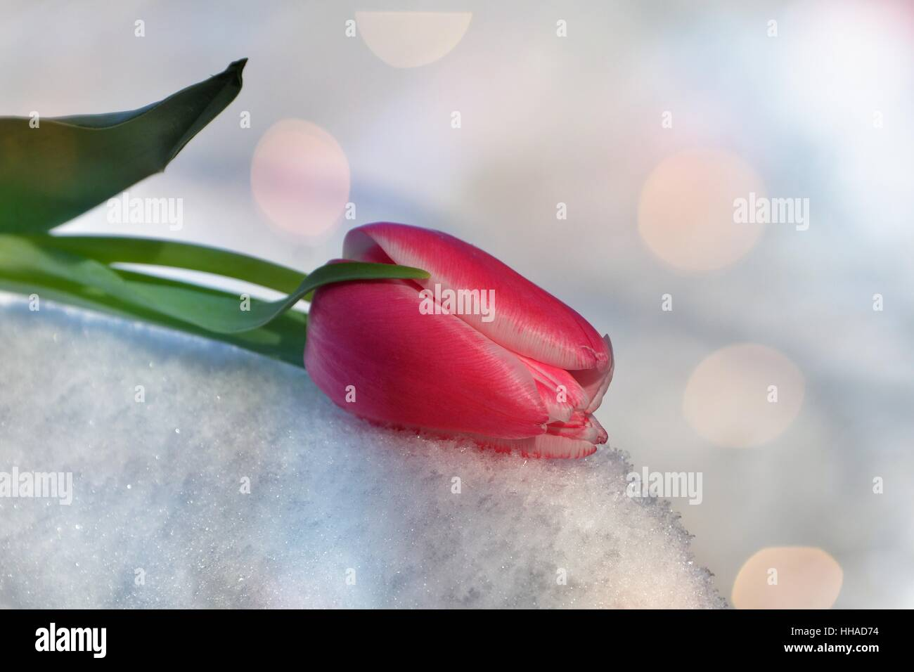 Pink tulip lies in the snow (Tulipa) with light reflexion ions - Stock Image