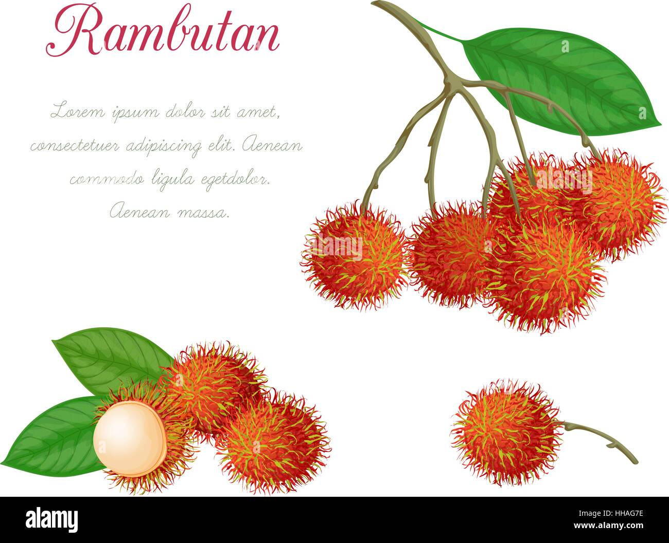 Vector illustration of rambutan, made in a realistic style. Isolated objects on a white background. A series of Stock Vector