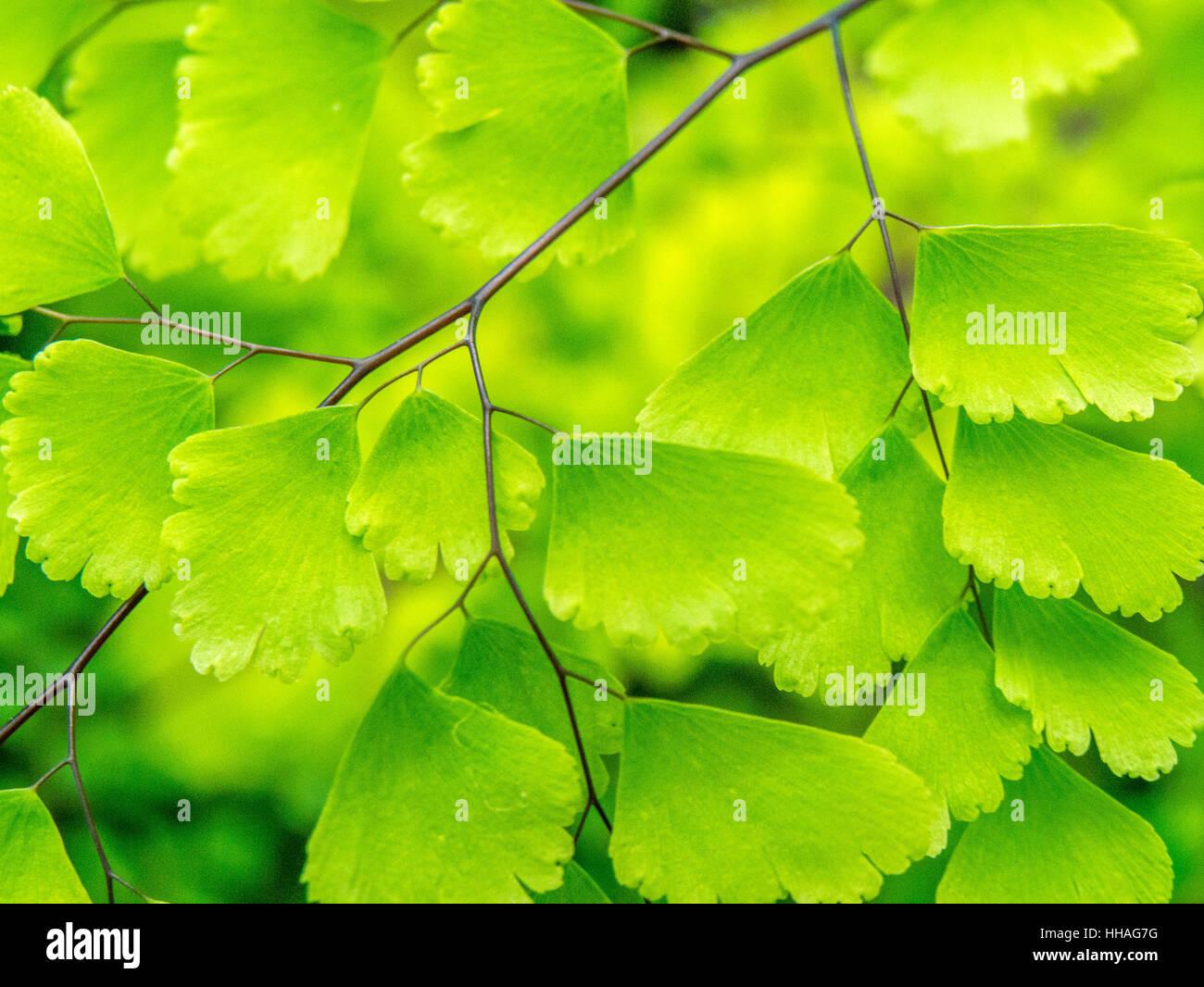 Macro, landscape orientation, of maidenhair fern - Stock Image