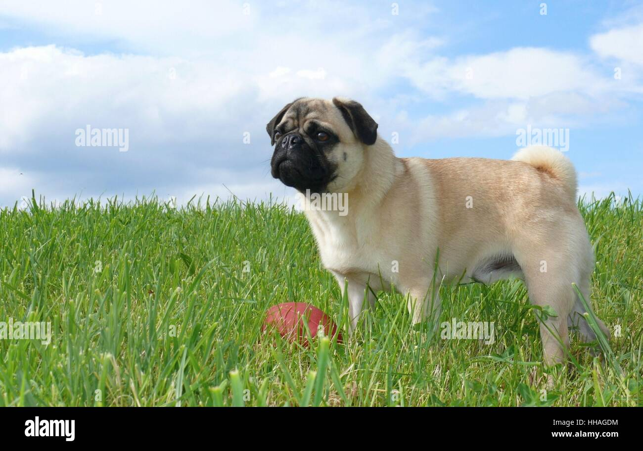pug and his ball - Stock Image