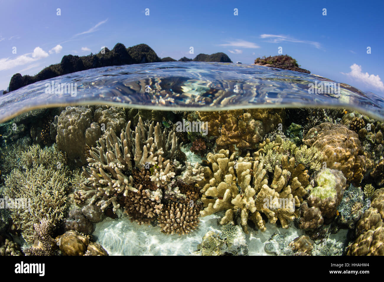 A beautiful coral reef thrives in Raja Ampat, Indonesia. This biodiverse region is known as the heart of the Coral - Stock Image