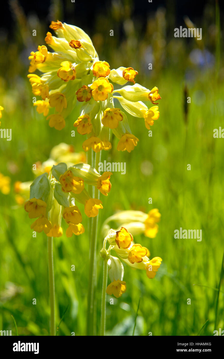 Cowslips, Primula veris, growing in a churchyard, West Wales Stock Photo