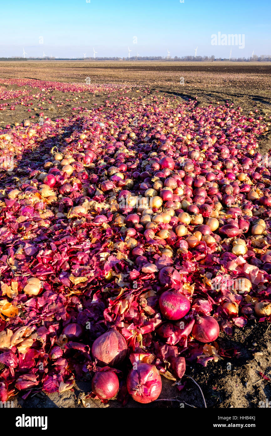 Discarded White And Red Onions Left To Rotten In A Farm