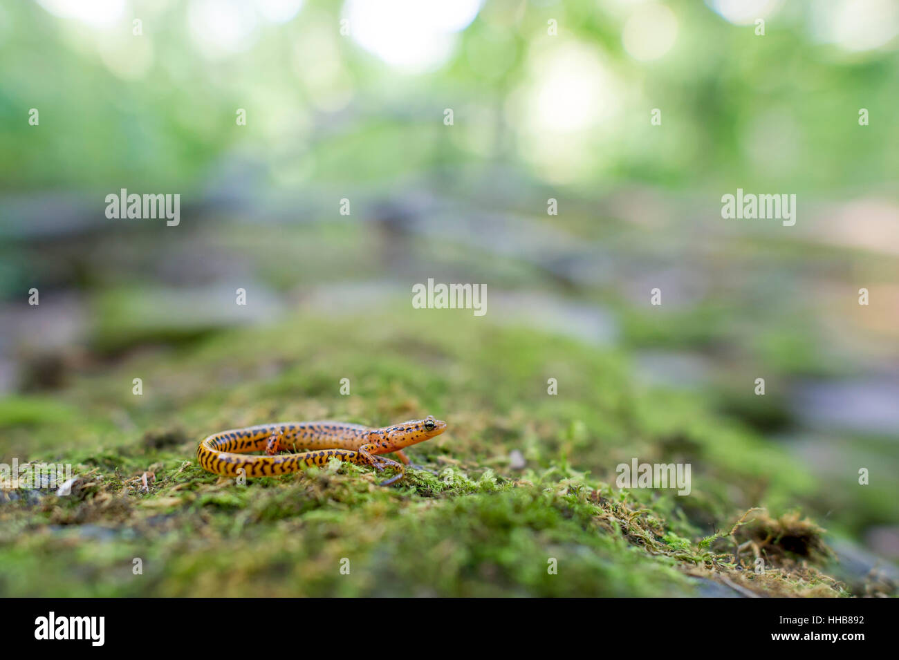 A Long Tailed Salamander sits on a mossy covered log. - Stock Image