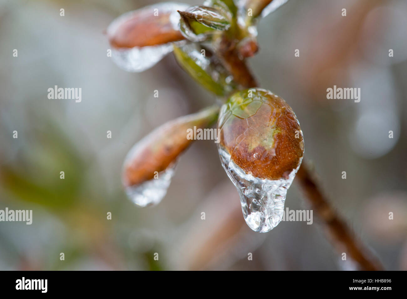 A close up macro of a tree branch bud covered in ice. - Stock Image