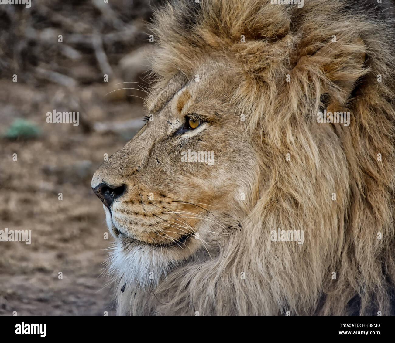 Male Lion in Southern African savanna - Stock Image