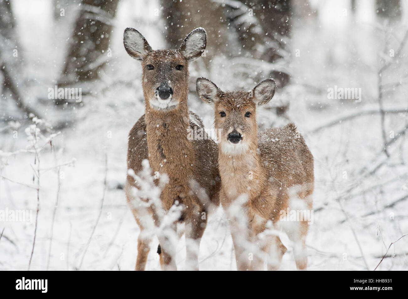 A pair of Whitetail Deer stand together in the falling snow. - Stock Image