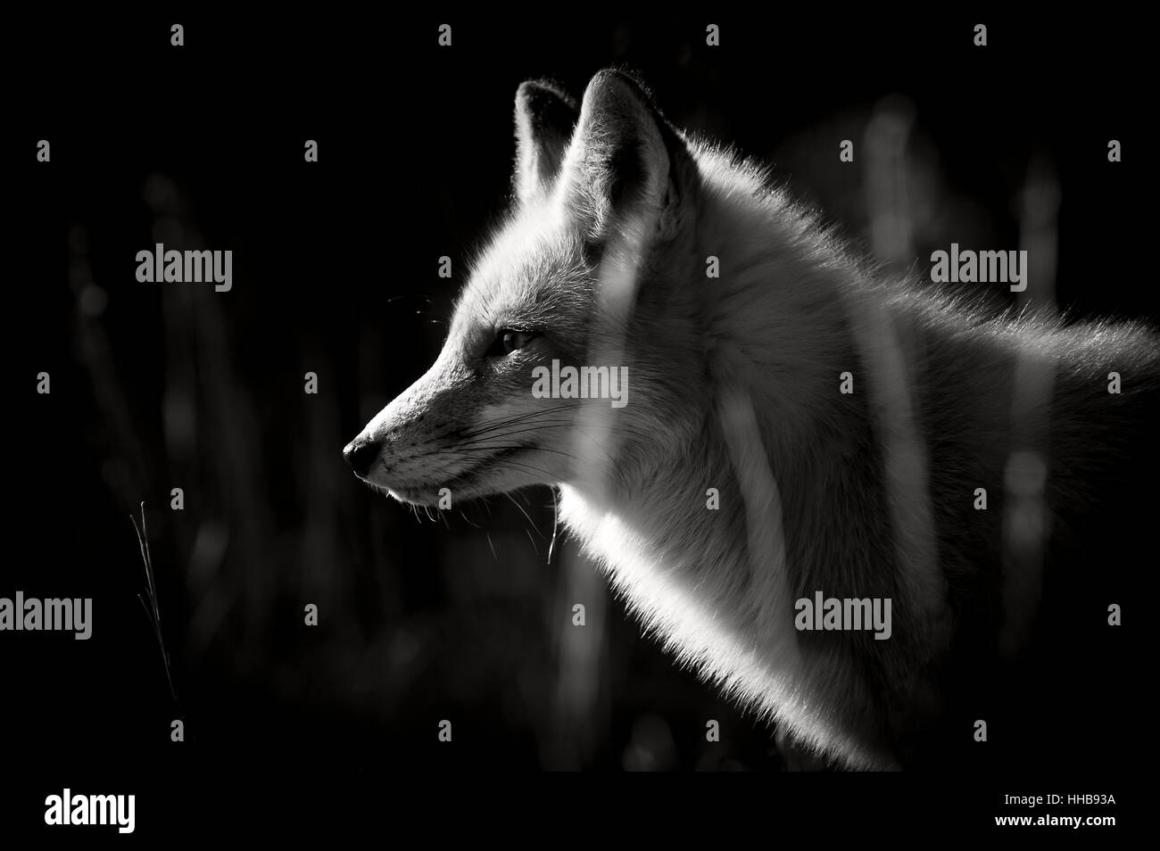 A black and white photo of a Red Fox taken on a bright sunny winter day. - Stock Image