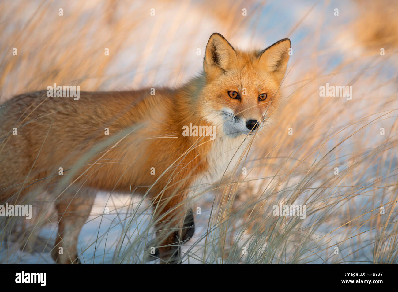 A Red Fox stands in a field of tall brown grass as the setting sun shines on its face. - Stock Image