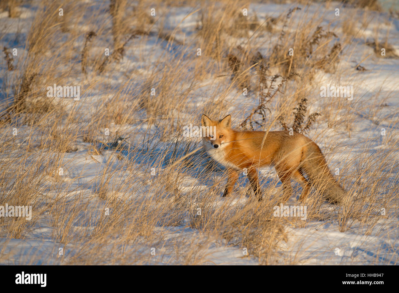 The late evening sun was just right as the Red Fox stood in the tall dune grass. Taken along the coast in southern - Stock Image