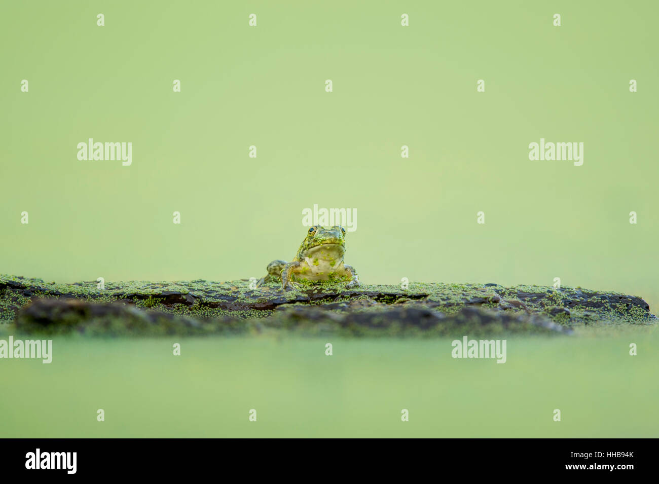 A small green frog sits on a log covered in duckweed on a completely green pond in soft overcast light. - Stock Image