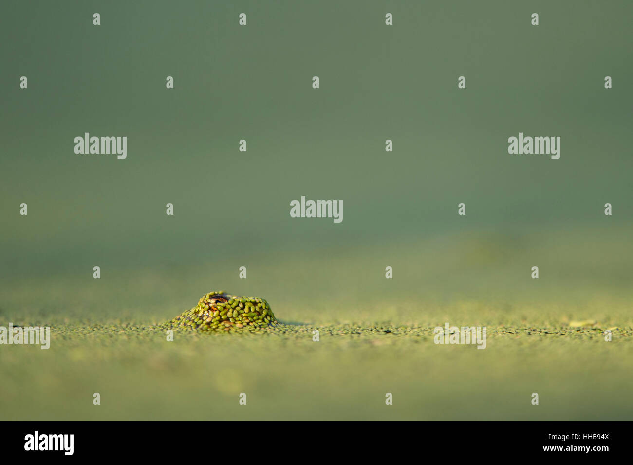 A tiny frog surfaced through a pond covered in duckweed to take a peek at its surroundings. - Stock Image