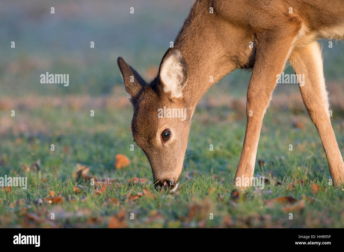 A yearling Whitetail Deer feeds in a small field just as the morning sun shines on its fur. - Stock Image