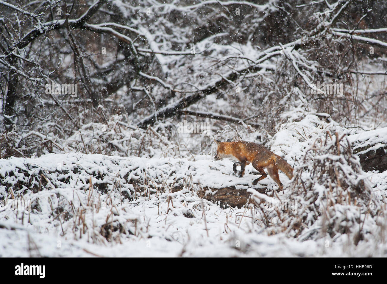 A Red Fox walks along a fallen tree in an early spring snow in Southern New Jersey. - Stock Image