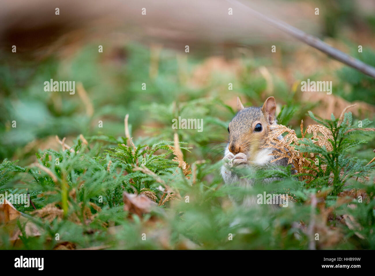 A Gray Squirrel eats food in a field of green ground pine. - Stock Image