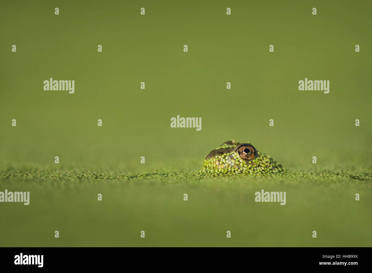 A small frog surfaced through the bright green duckweed to reveal its large eye. - Stock Image