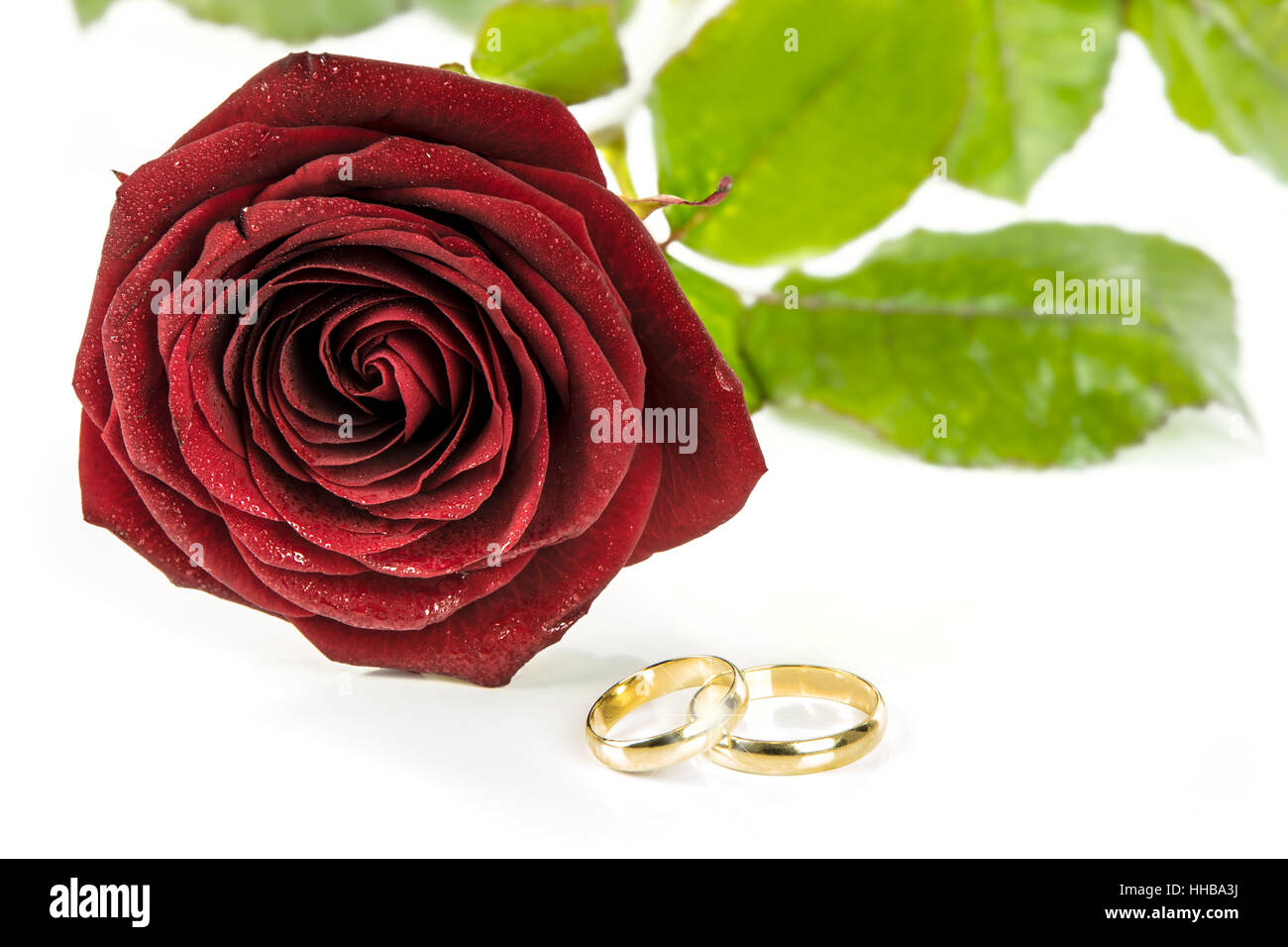beautiful and rings white blooming background two photo rose wedding image a red gold stock photos on