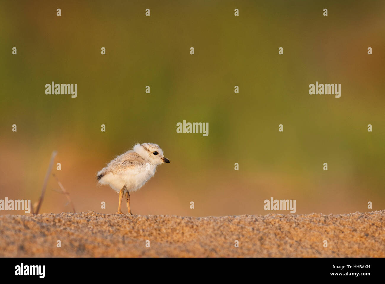 A tiny and adorable Piping Plover chick stands on a sandy beach as the first morning sun shines on it with a smooth - Stock Image