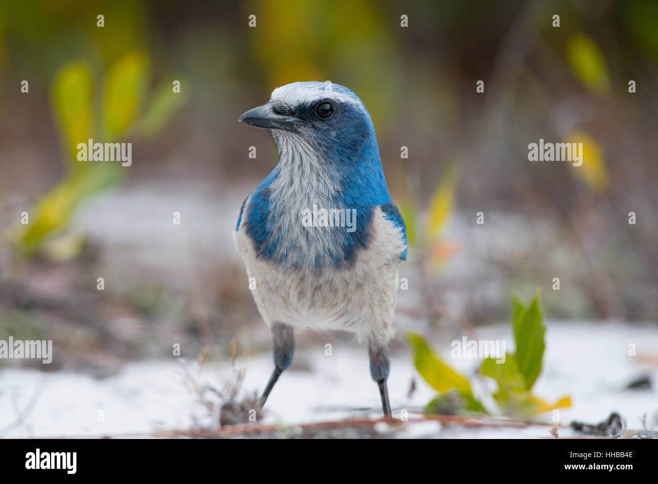 A curious Florida Scrub Jay stands on the ground for a close up portrait. Stock Photo