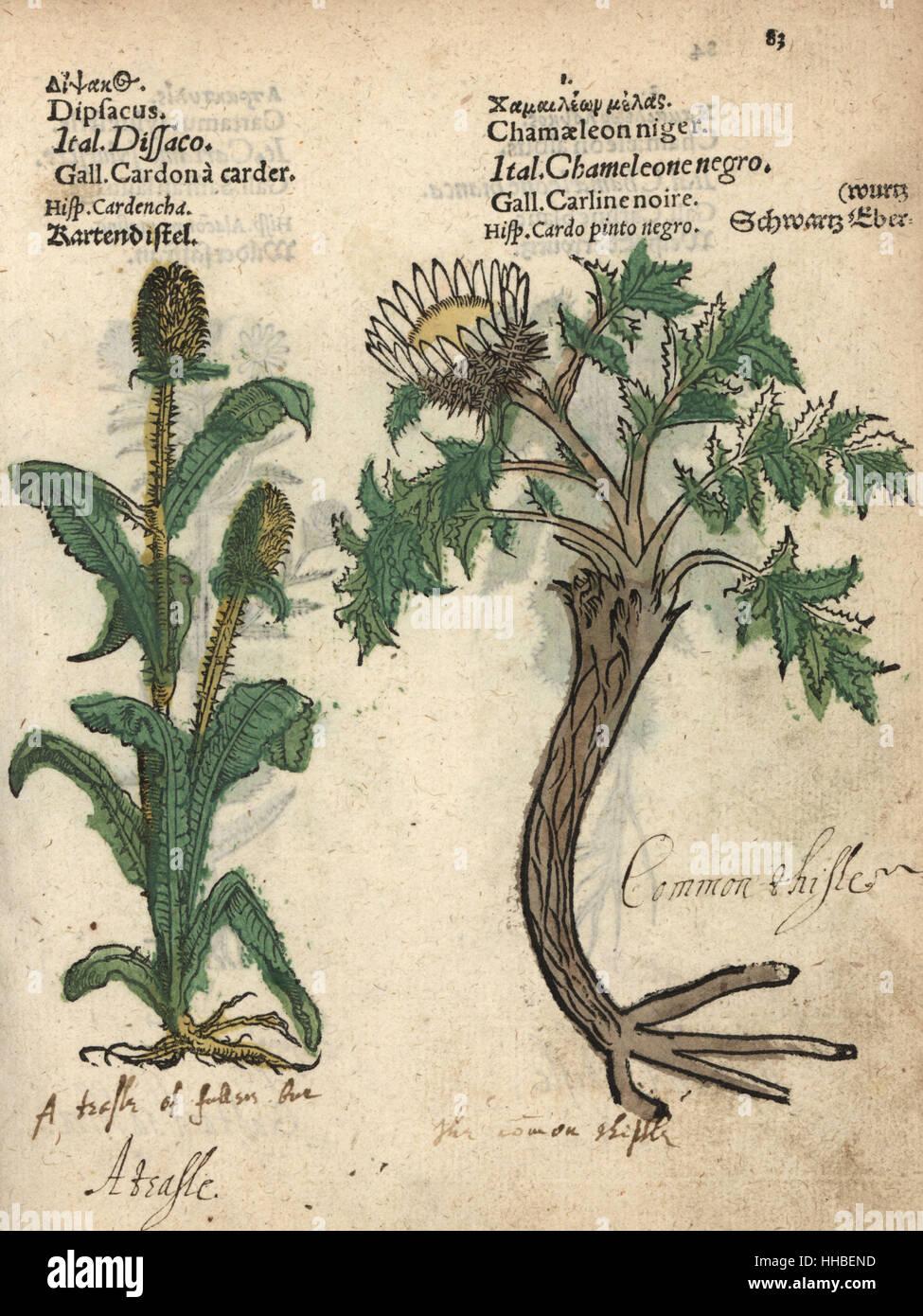 Teasel, Dipsacus fullonum, and pale globe thistle, Echinops sphaerocephalus. Handcoloured woodblock engraving of - Stock Image