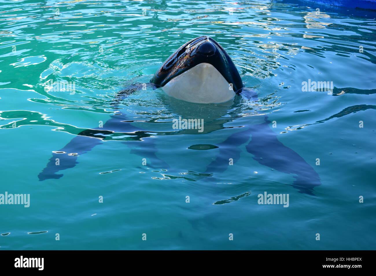 Miami, Florida - USA - January 08, 2016:Killer Whale Swimming - Stock Image