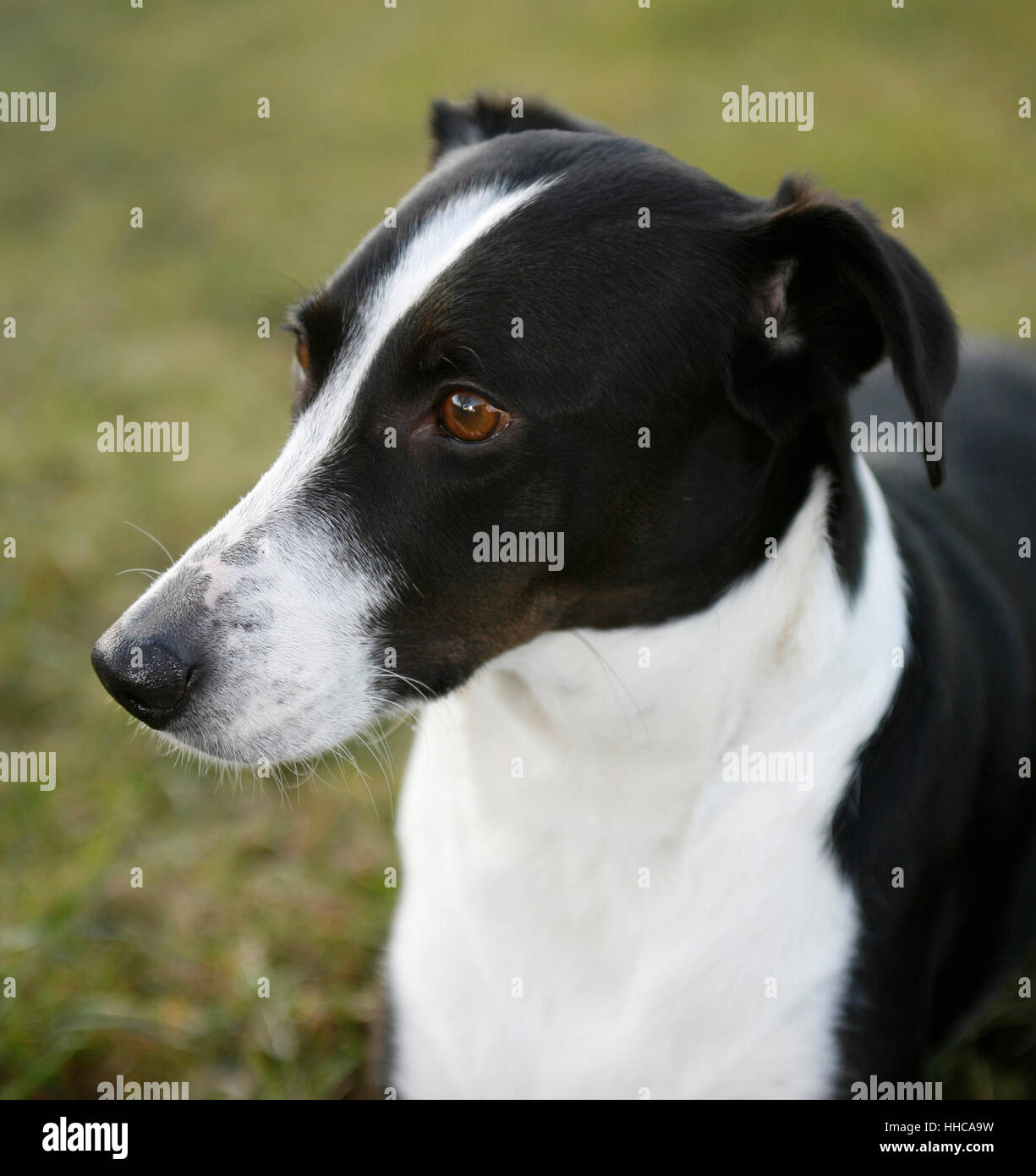 outdoor portrait of a black and white dog - Stock Image