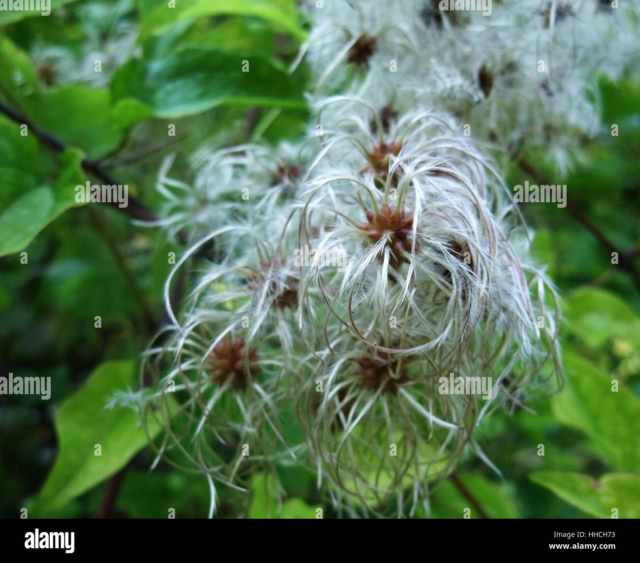 outdoor shot of some fluffy seeds at summer time in front of green leaves - Stock Image