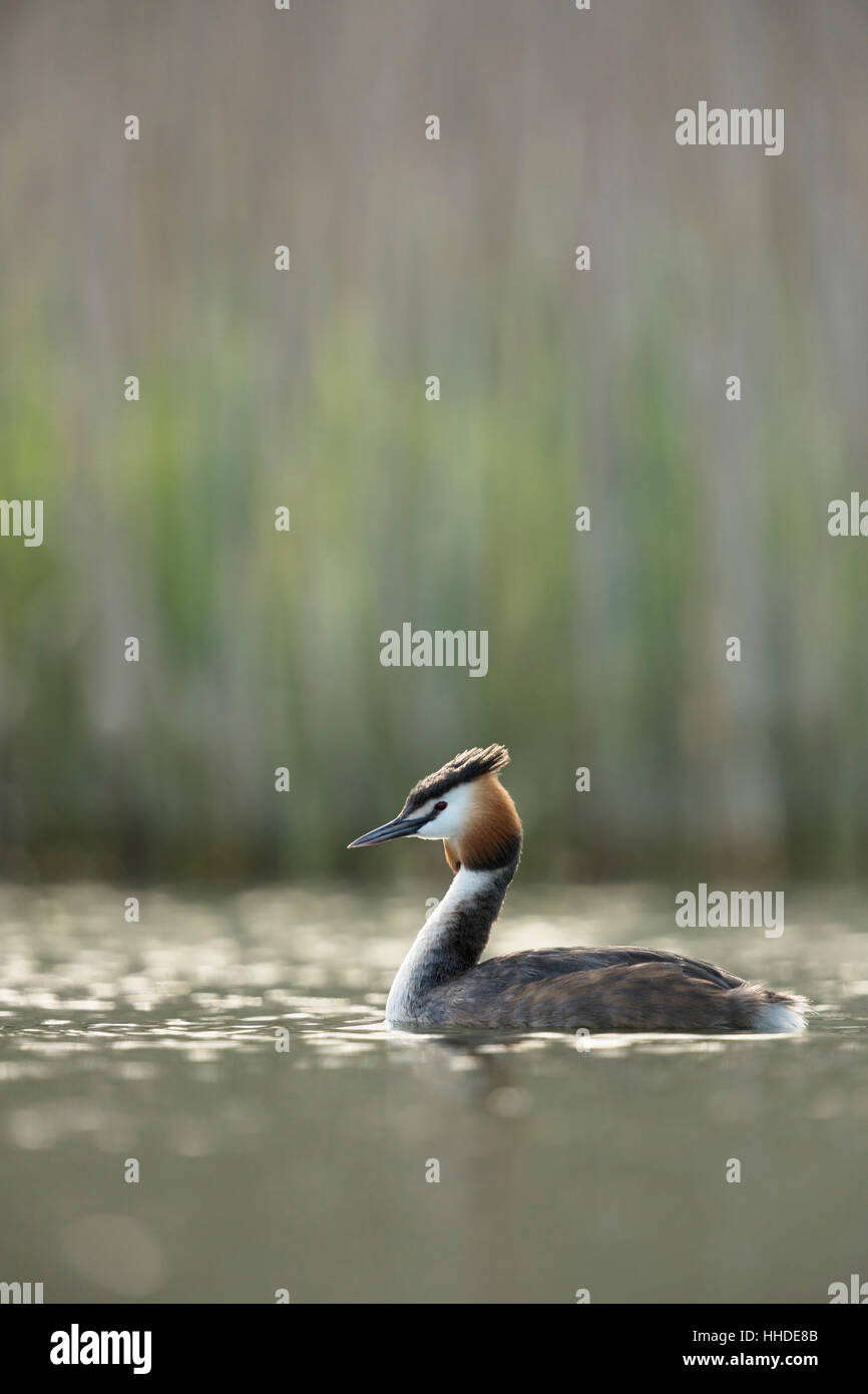 Great Crested Grebe ( Podiceps cristatus ) in breeding dress, swimming, natural vernal surrounding, early morning - Stock Image