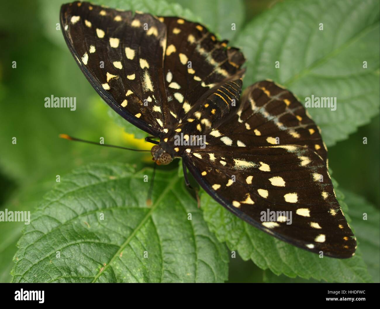 tropical butterfly - Stock Image