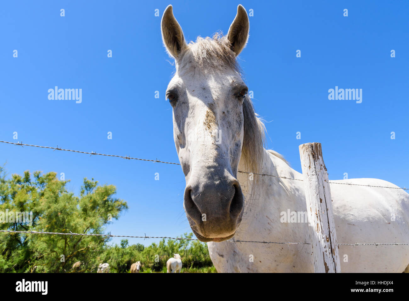 Camargue Horse leans over a fence in the Camargue Natural Regional Park in the Rhône Delta, Southern France - Stock Image