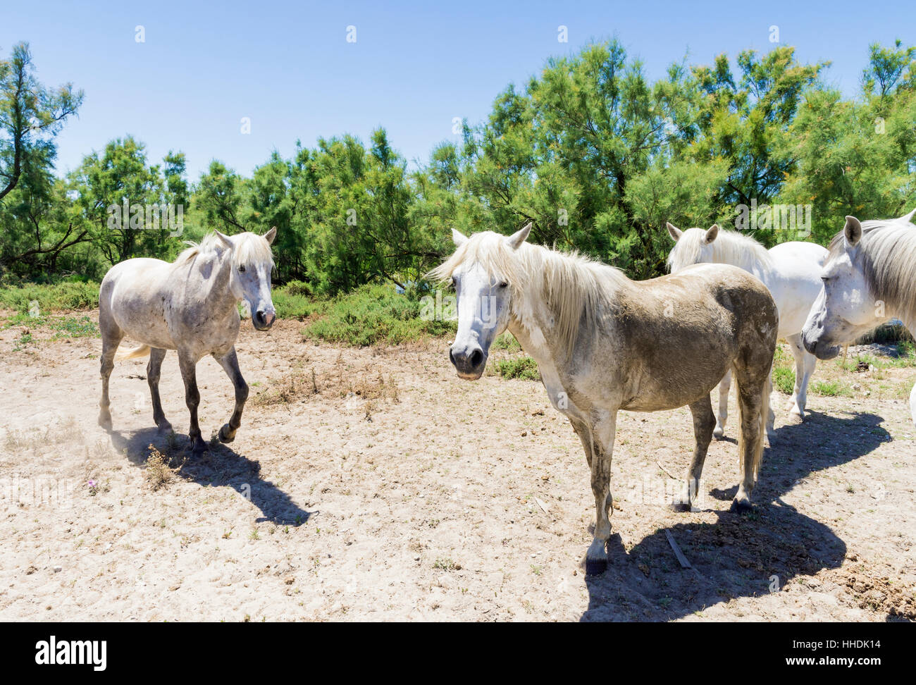 Wild Camargue Horses, in the Camargue Regional Nature Park in the  Rhône Delta, Southern France - Stock Image