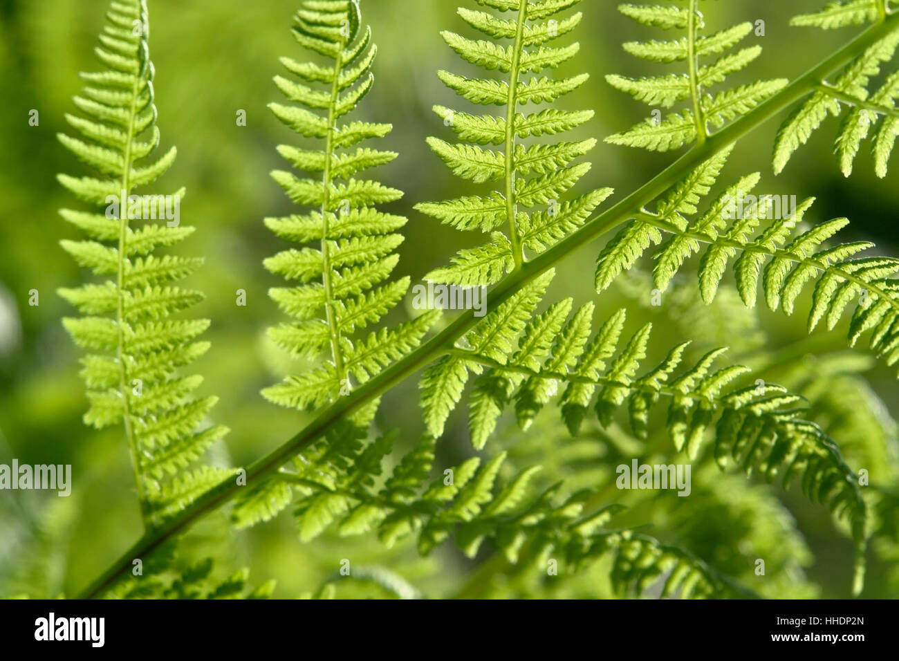 detail of a sunny illuminated fern leaf at summer time - Stock Image