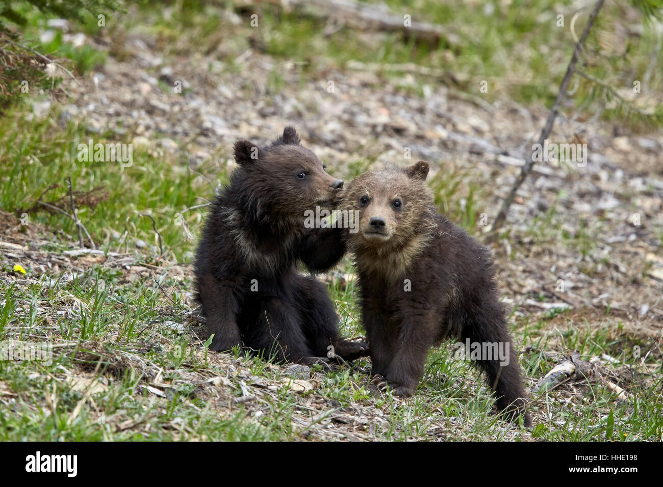 Two Grizzly Bear (Ursus arctos horribilis) cubs of the year or spring cubs playing, Yellowstone National Park, Wyoming, Stock Photo