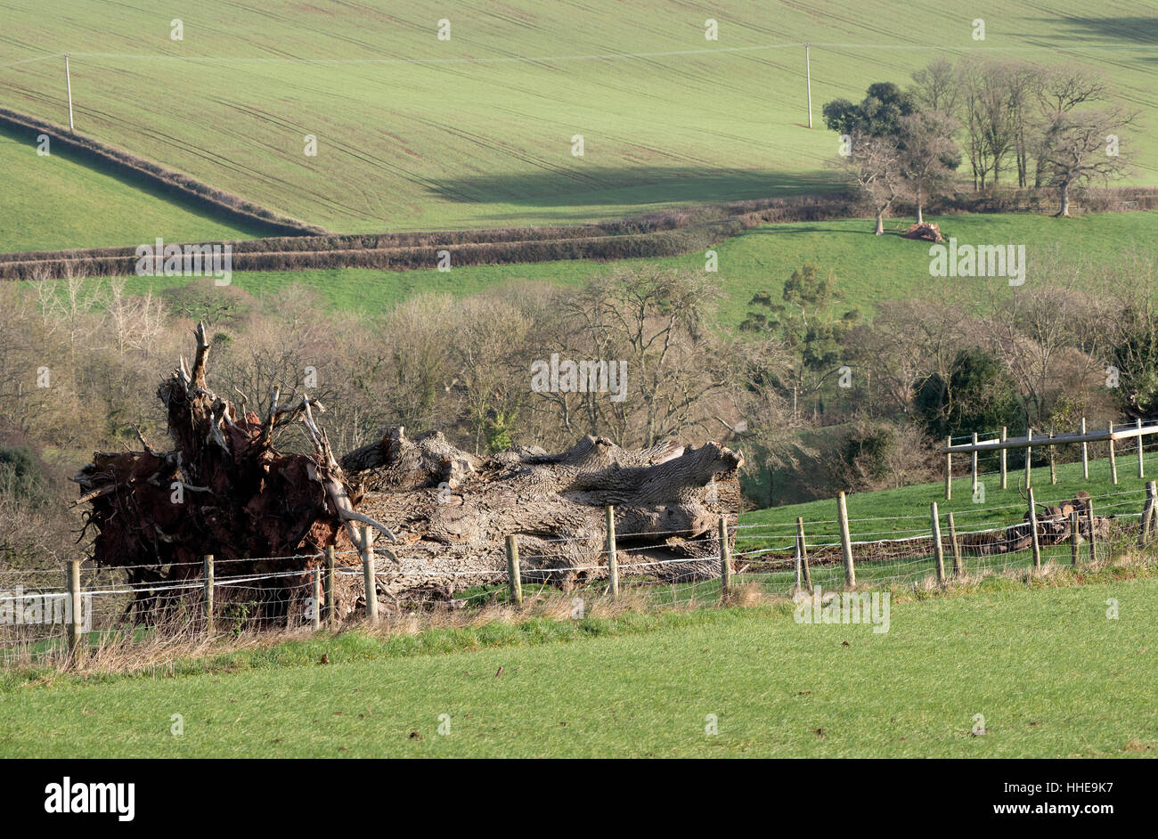 Uprooted oak tree on farmland in Devon England UK - Stock Image