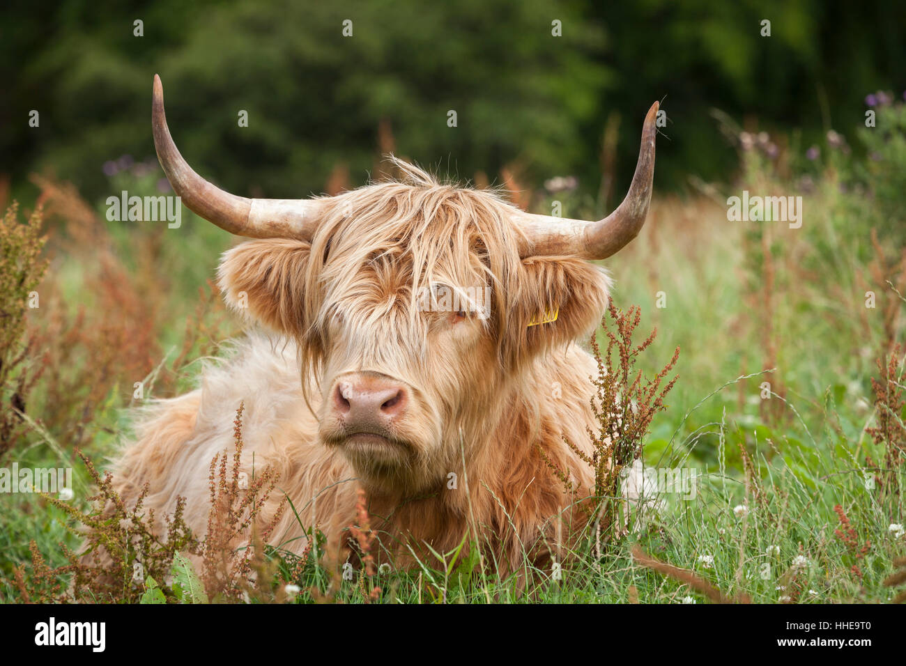 Highland  Cow in Scotland. - Stock Image