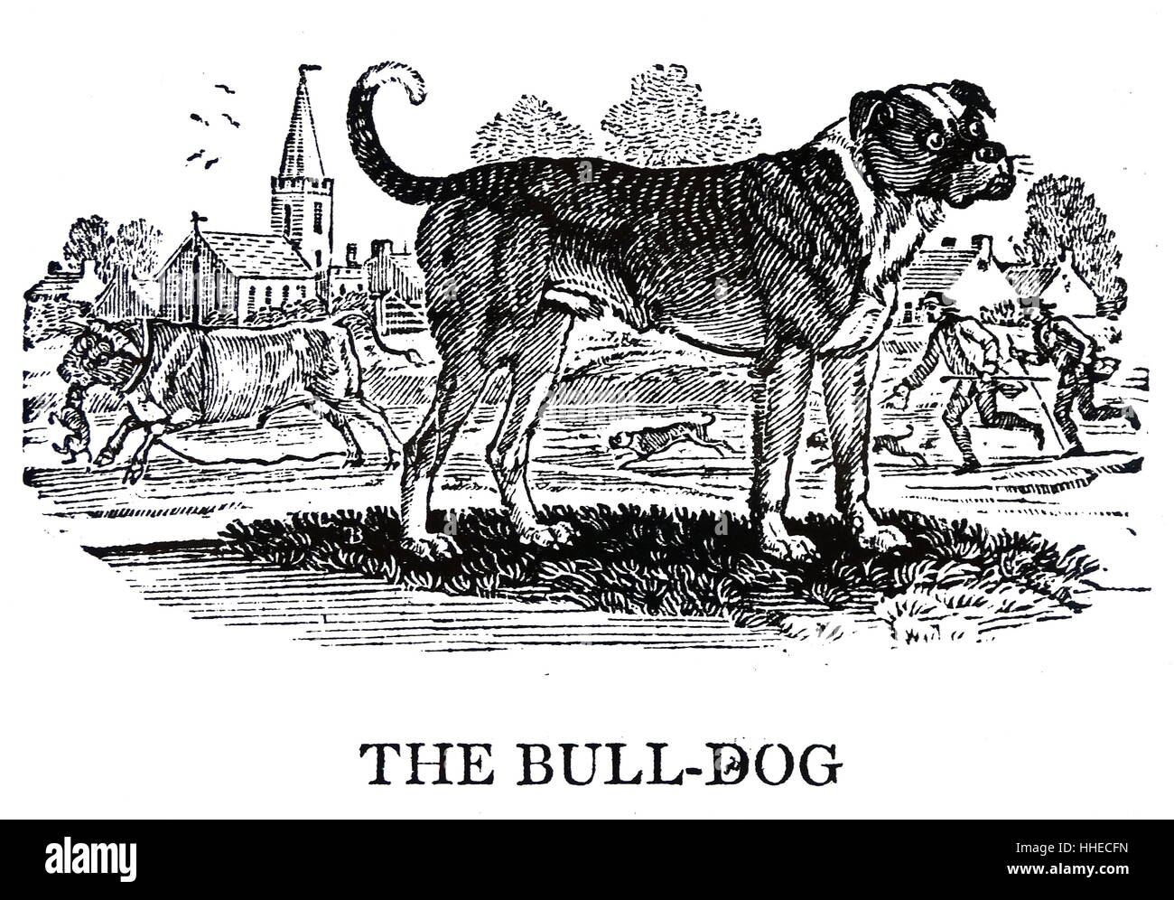 The Bulldog. From Thomas Bewick A General History of Quadrupeds, Newcastle upon Tyne, 1790. - Stock Image