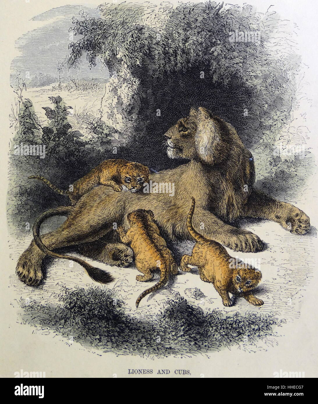 Lioness and cubs. Hand-tinted engraving circa 1860 - Stock Image