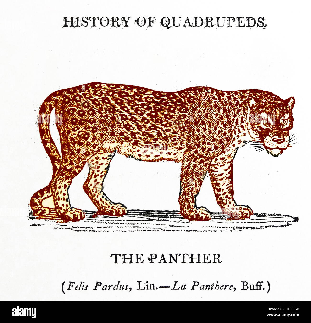 THE PANTHER from Thomas Bewick A General History of Quadrupeds, Newcastle upon Tyne, 1790. Woodcut - Stock Image