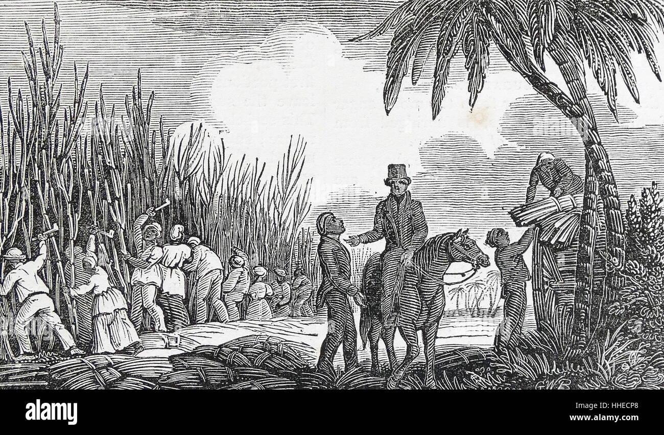 Cutting sugar cane: West Indies, 1833