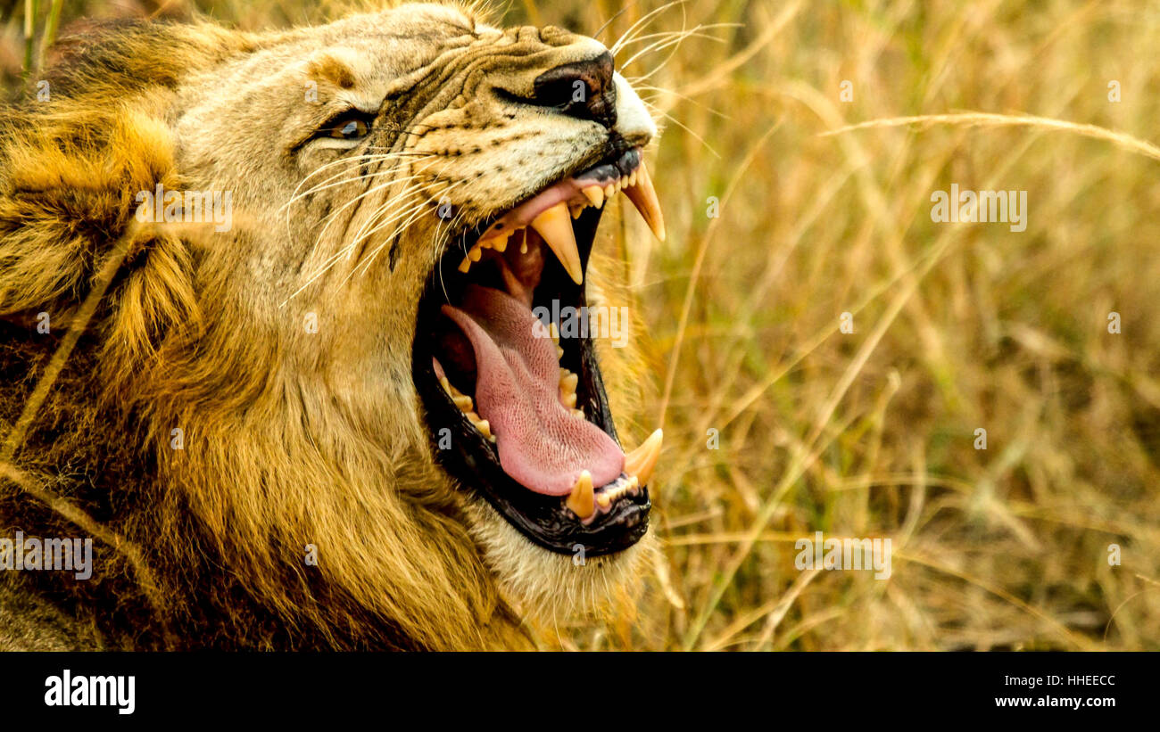 An image with a lion roaring - Stock Image