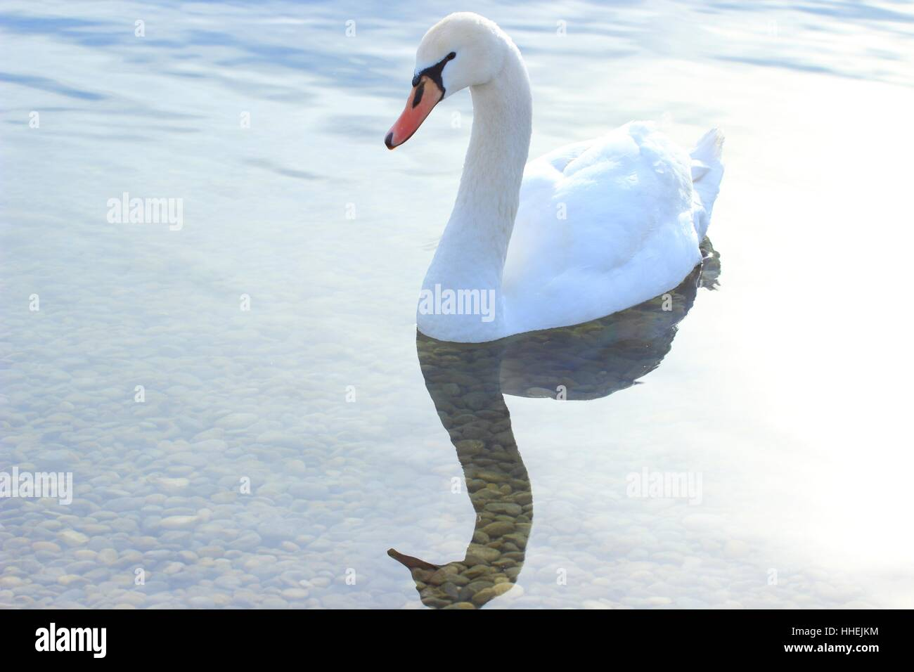 Swan on the water - Stock Image
